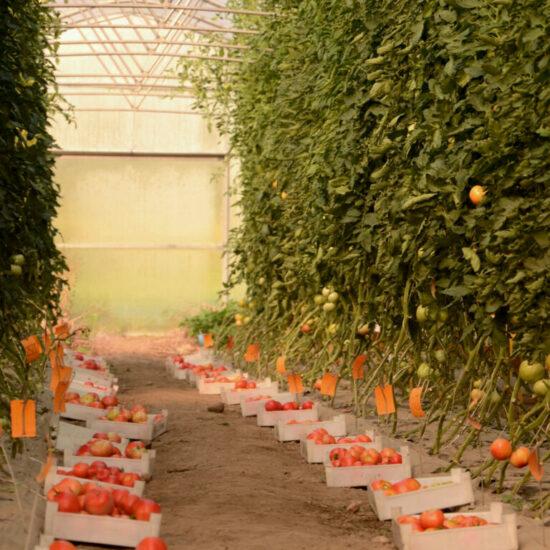 Preskušanje sort zelenjadnic